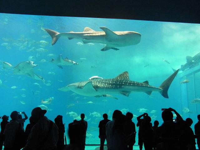 美ら海ジンベイザメ