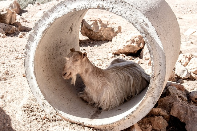 goat-1766062_1920