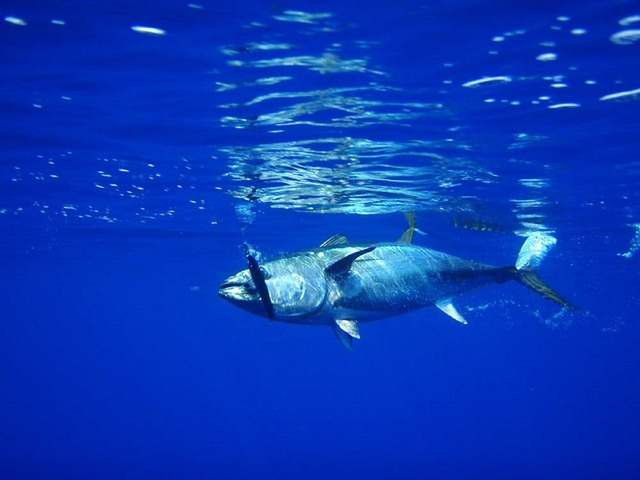tuna-576938_1280