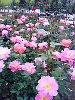 rosegarden1019-4
