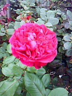 rosegarden1019-1