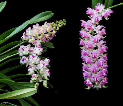 Prra. Parichart + Aer. lawremceae + 'Nobby'-1656