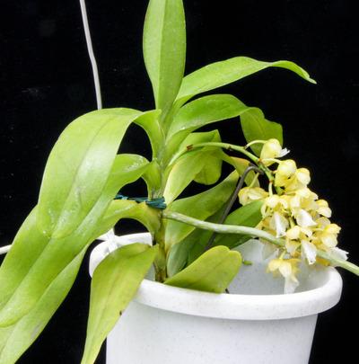 Aer.houlletiana f. alba-0766