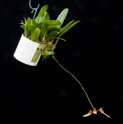 Bulb. macraei-2610