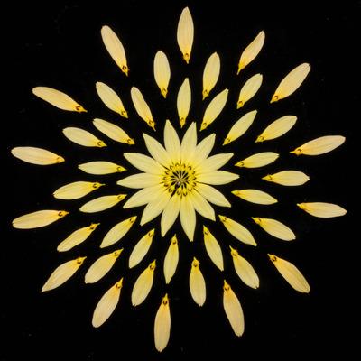 Bulb. cumingii 'Palawan Yellow'-2453