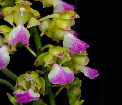 Aerides houlletiana-2377