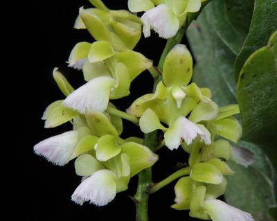 Aer. houlletiana f. alba-2427