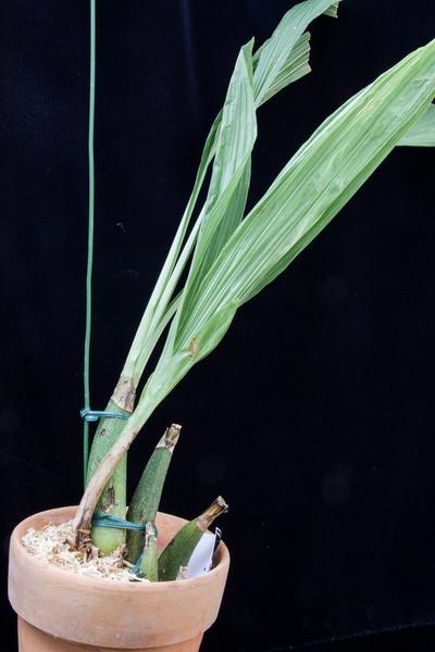 Peristeria pendula-025