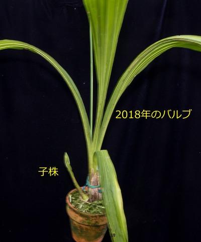 Peristeria pendula-2686