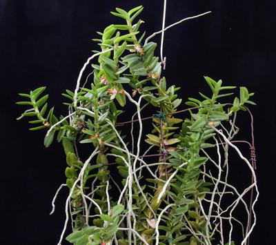 Pelatantheria  insectifera-7563