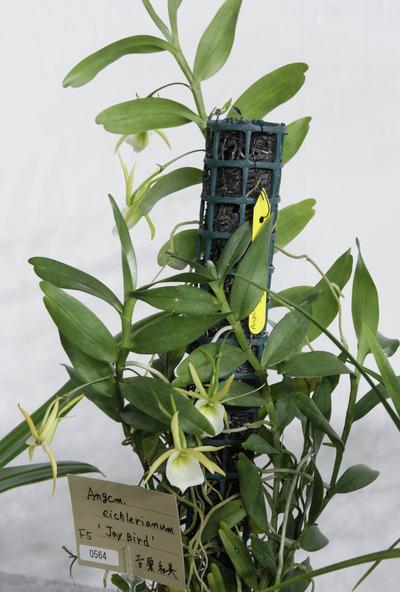 eichilerianum-6704