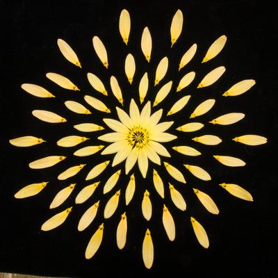 Bulb. cumingii 'Palawan Yellow'-2456