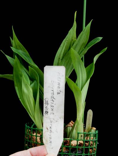 Acineta beyrodtiana-2814
