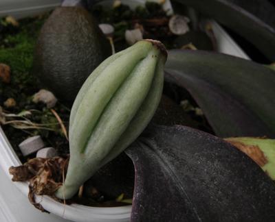 phalaenopsis-7528
