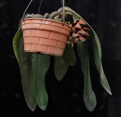 phalaenopsis-4590