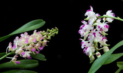 Prra. Parichart + Aer. lawremceae-1649