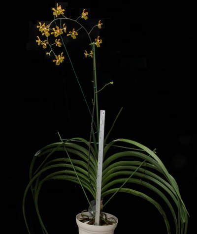 Arachnis beccarii-2520
