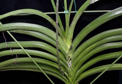 Arachnis beccarii-2477