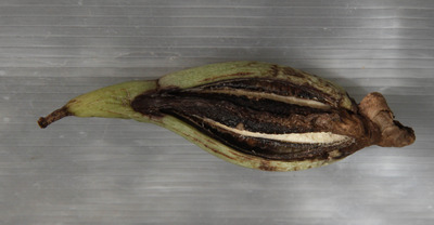 virescens x graveolens-7541