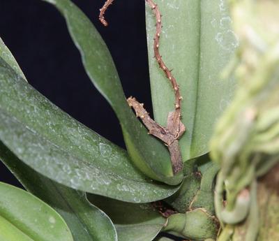 Pomatocalpa spicatum-4717