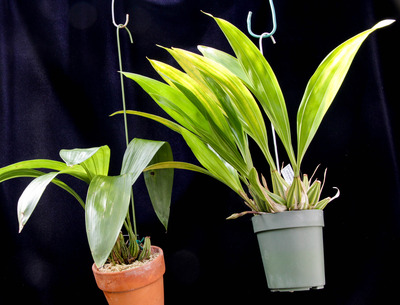 Coryanthes macrantha, trifoliata-001