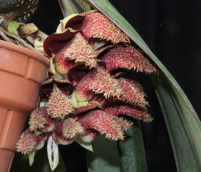 phalaenopsis-4587