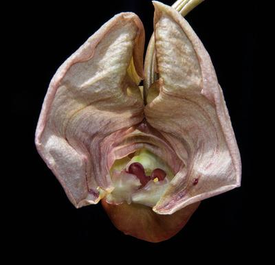 Coryanthes triifoliata-2502