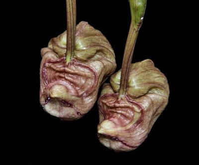 Coryanthes trifoliata-2304