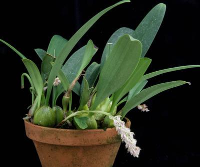 Bulb. lilacinum-2803