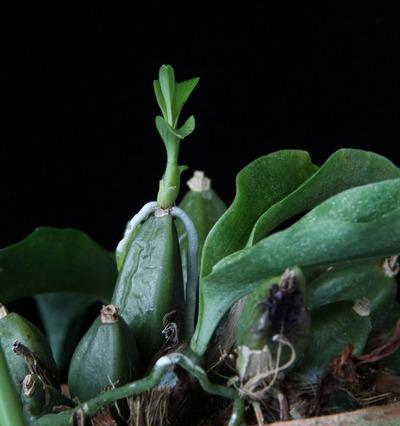 Promenaea stapelioides-1690