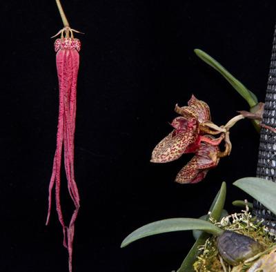 Bulb. plumatum, frostii-2735-2