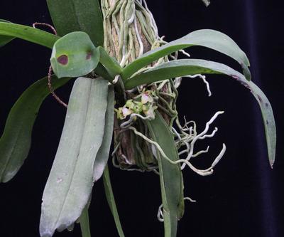 Gastrocihilus tetrapogon-4697