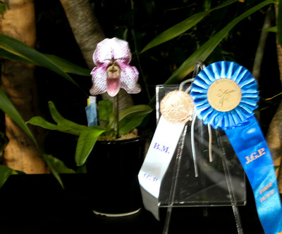 Paph. Iona-6817