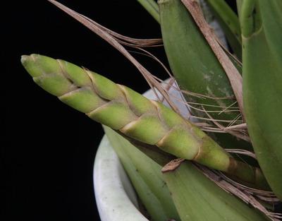 Coelogyne tomentosa  -4997