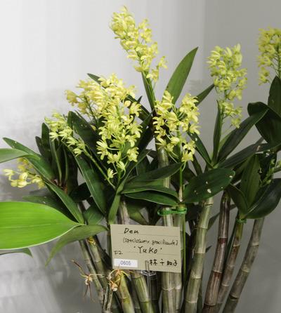 (speciosum x gracilicaule) 'Yuko'-6683
