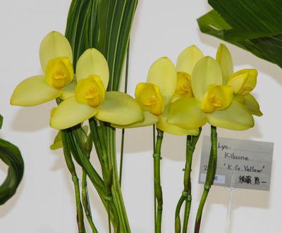 Yellow' BM-6366