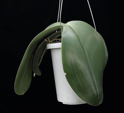 Phal. gigantea-1266