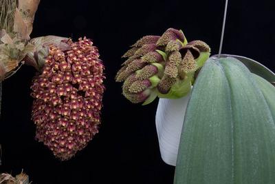 phalaenopsis,beccarii-0375-2