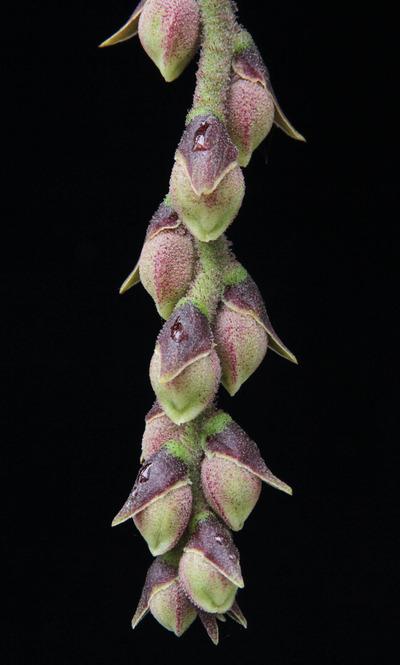 Dimorphorchis lowii-6146
