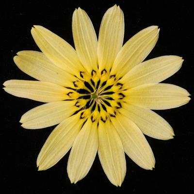 Bulb. cumingii 'Palawan Yellow'-2441