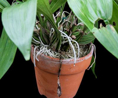 Coryanthes macrantha-1671