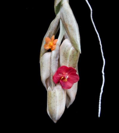Stan. stevensonii + V. Suntan Beauty x aurantiaca .-6698