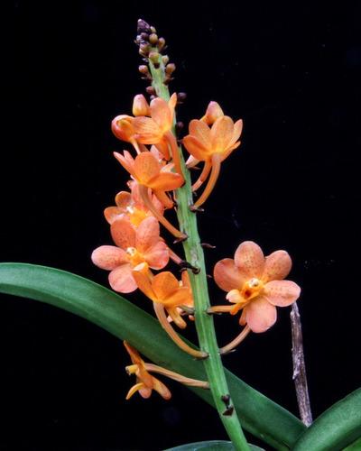 V. Suntan Beauty x aurantiaca-6689