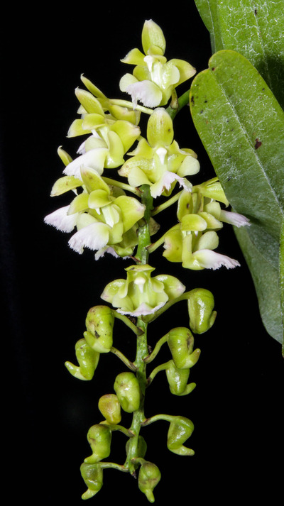 Aer. houlletiana f. alba-2424