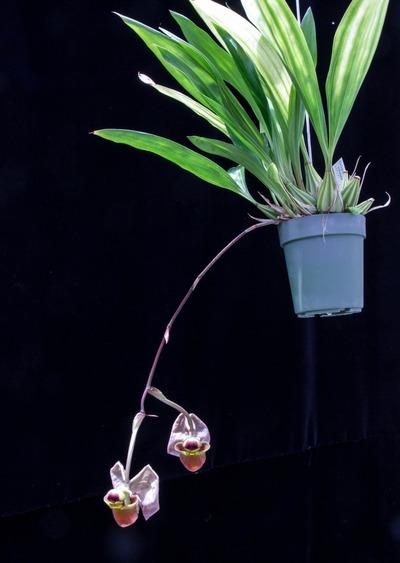 Coryanthes triifoliata-2483