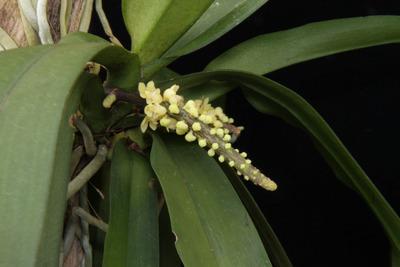 Pomatocalpa spicatum-7332