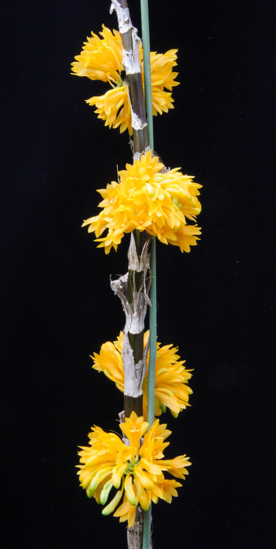 bullenianum-004