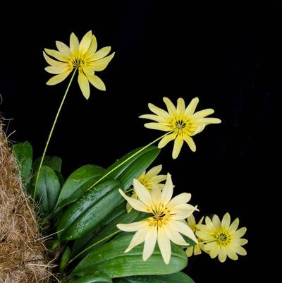 Bulb. cumingii 'Palawan Yellow'-2262