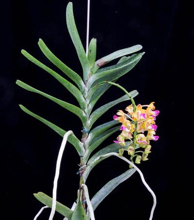 Aerides houlletiana 'Aso'-2562