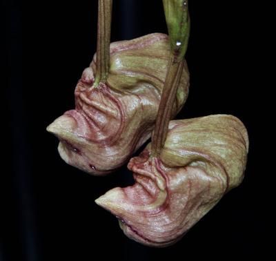 Coryanthes trifoliata-2306
